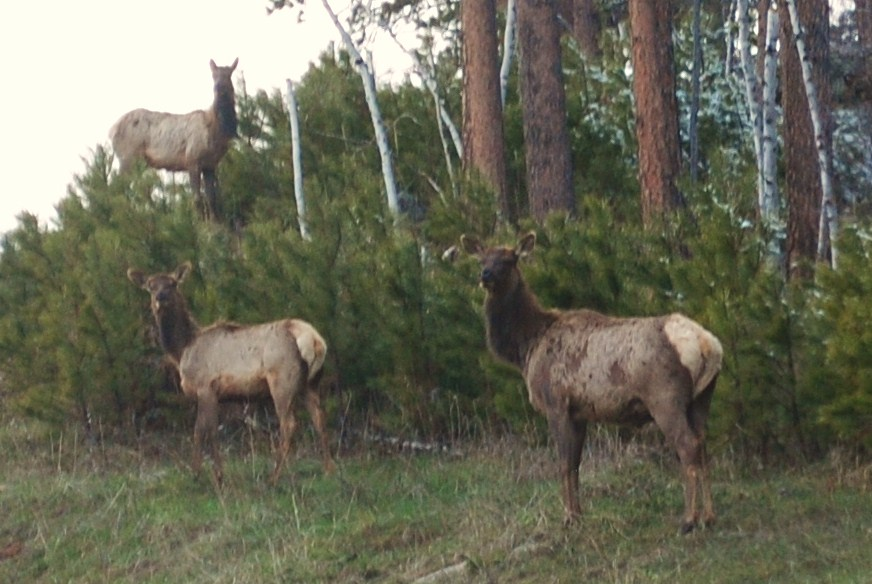image Elk in the Black Hills