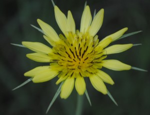 photo of Goatsbeard Plant flower