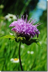 photo horsemint aka bee balm