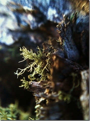 Unbiquitous in the Black Hills - Old Man's Beard aka Usnea Lichen